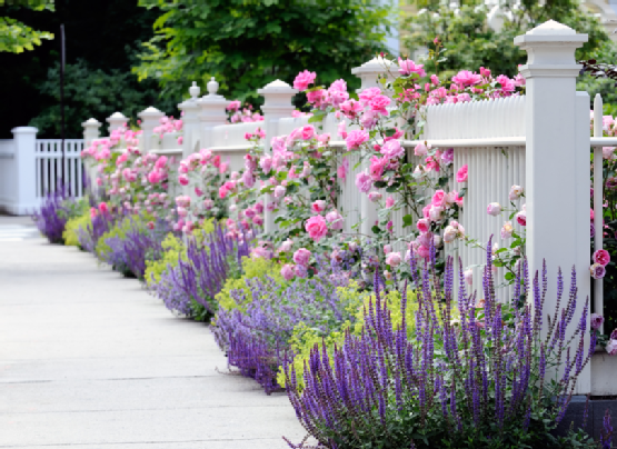 White Fence, Pink Roses, Salvia